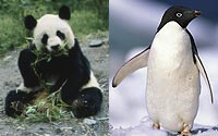 Panda-and-Penguin-A