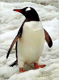 Penguin-B