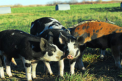 Animals-Pigs-B